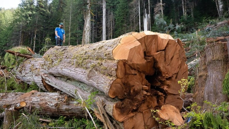 Old Growth Forests In BC Can Be Logged If They Lie The Timber Harvesting Land Base TJ Watt Ancient Forest Alliance