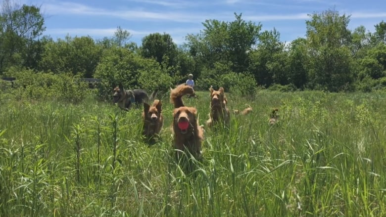 Potentially fatal tapeworm spread by foxes, coyotes discovered in Ontario