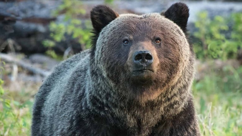 Why Playing Dead Might Save Your Life And Other Bear Safety Tips