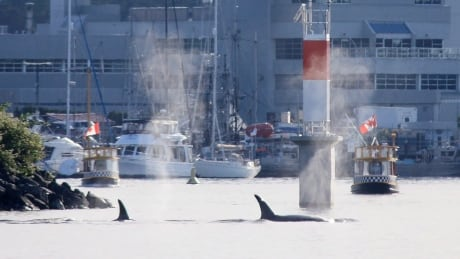 Orcas make 2nd rare appearance in Victoria's Inner Harbour