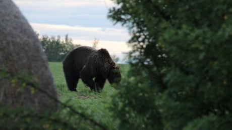 Grizzly bears east of usual range 'shocked' woman who saw one munching dandelions | CBC