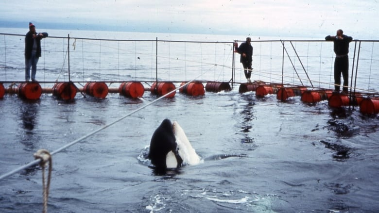 Ocean sanctuary proposed for captive orcas