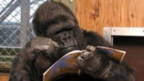 Koko with a book