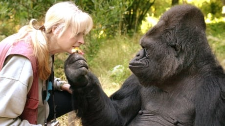 'The end of an era': Koko, the gorilla who learned sign language, dies at 46