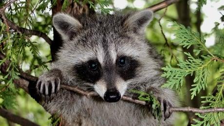 raccoon-in-cedar-tree