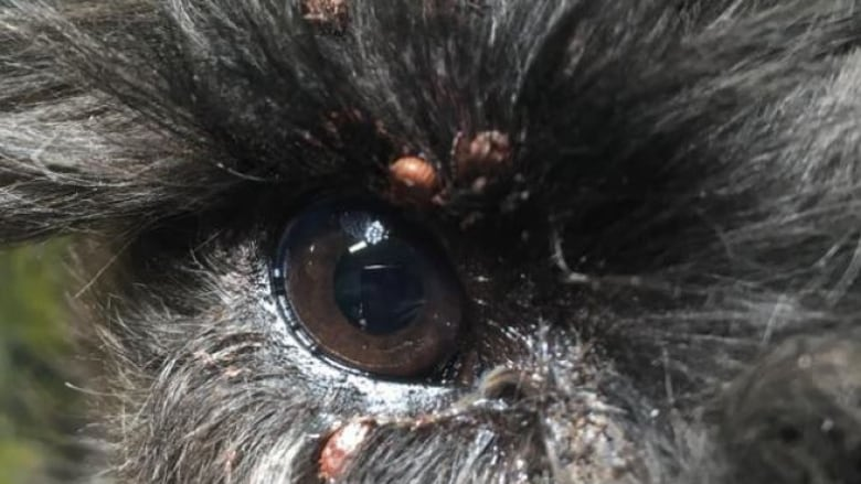 Alberta Vet Clinic Issues Warning After 2 Dogs Treated For 100 Ticks
