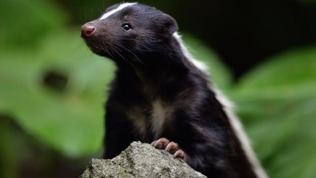 How a fur craze led to skunks being introduced into P.E.I.