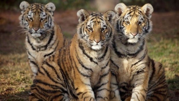 3 Tiger Cubs Make Their Public Debut At Moncton S Magnetic