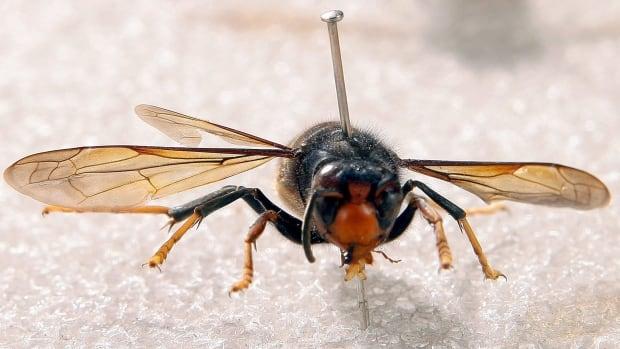 the hornets