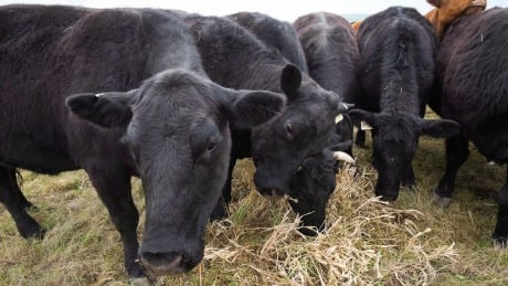 B.C. cow with bovine TB was slaughtered in Alberta