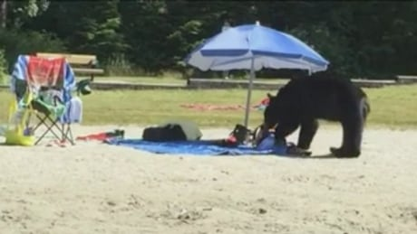 Food restrictions lifted at Belcarra park after picnic-raiding bear fails to reappear