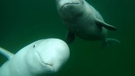 Young beluga in Summerside 'lives a dangerous life'