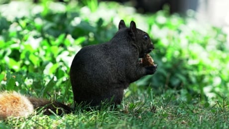 How black squirrels from Ontario ended up overrunning Washington, D.C.