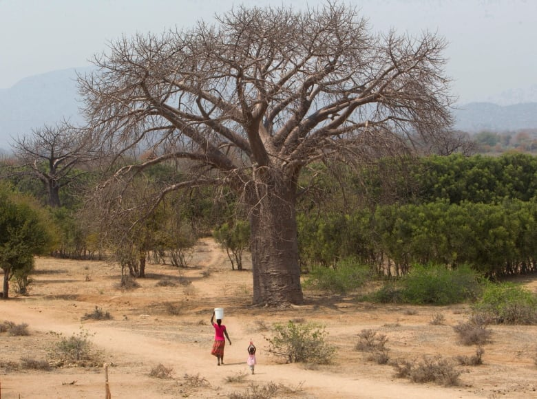 Africa's oldest baobab trees are dying from a mysterious