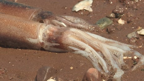 Squid pei