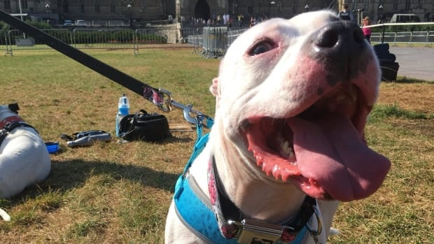 Pit bull owners calling on Ontario to repeal ban | CBC News