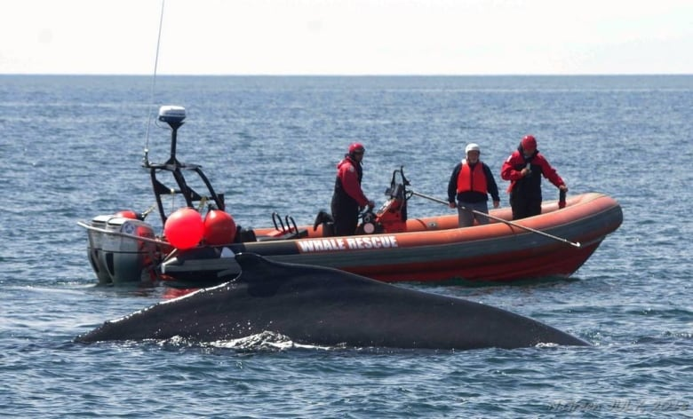 Rescuers partially free 1 of 3 entangled right whales in Gulf of St. Lawrence