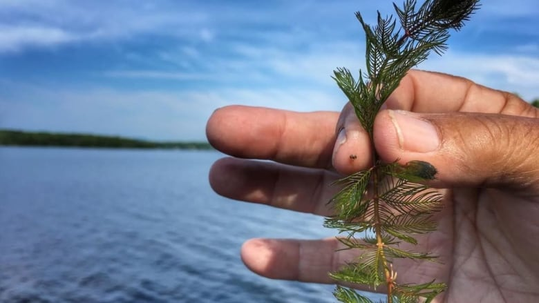 Some Okanagan beaches left in the weeds because of protected mussels