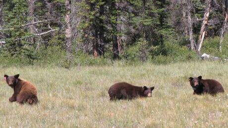 Bears banff
