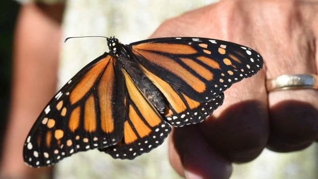 Monarch butterflies harmed by common neonic pesticides, study suggests