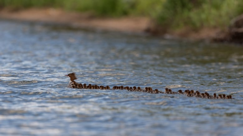 Mom of the year': Photographer captures images of mama duck with 76 ...