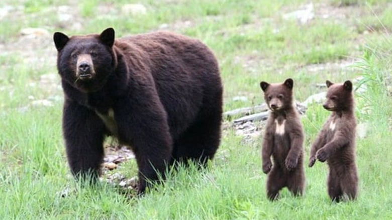 Black Bears Will Act Aggressively If They Feel Threatened -6515