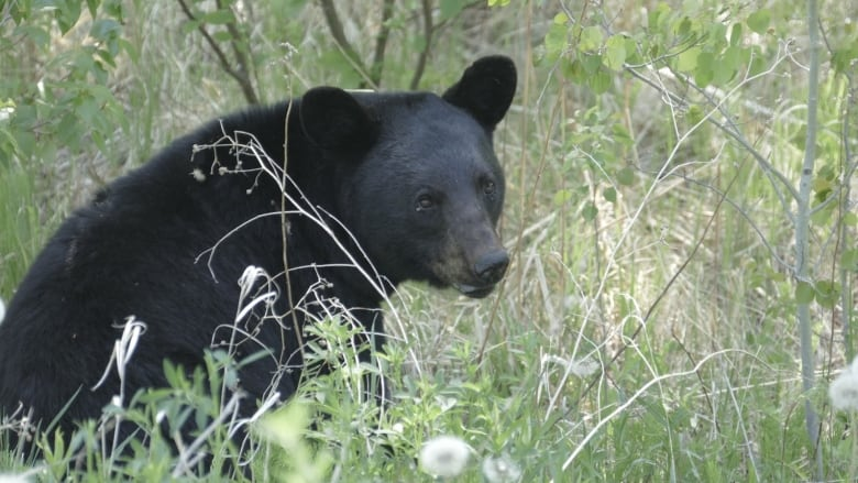 RCMP search for 'aggressive' black bear on Burnaby Mountain