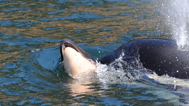 Killer whale lets her dead newborn go after carrying body