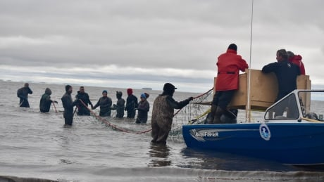 beluga whale tagging in Beaufort Sea