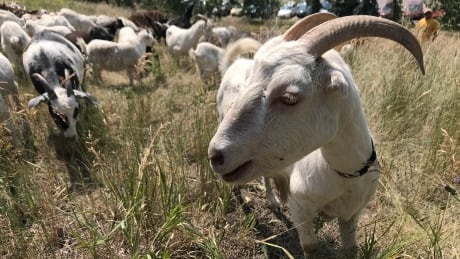 Weed eating goats 2