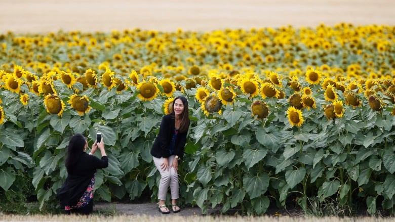 Manitoba farmer concerned by selfies sprouting in sunflower crop stewart is concerned that the amateur photographers are damaging his crop mightylinksfo