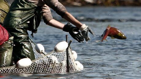 Sockeye salmon DFO