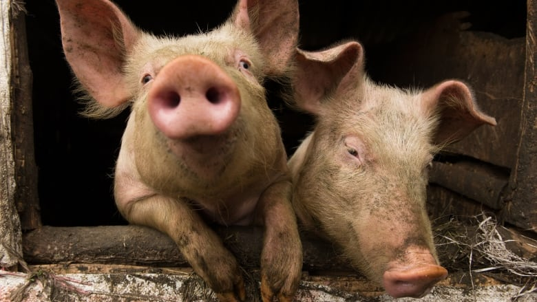 Researchers Successfully Put Bioengineered Lungs Into Pigs