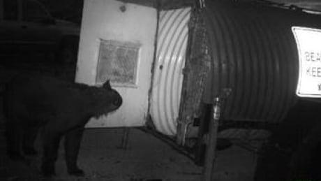 bear entering live trap.
