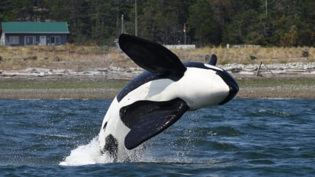 Killer whale T73B