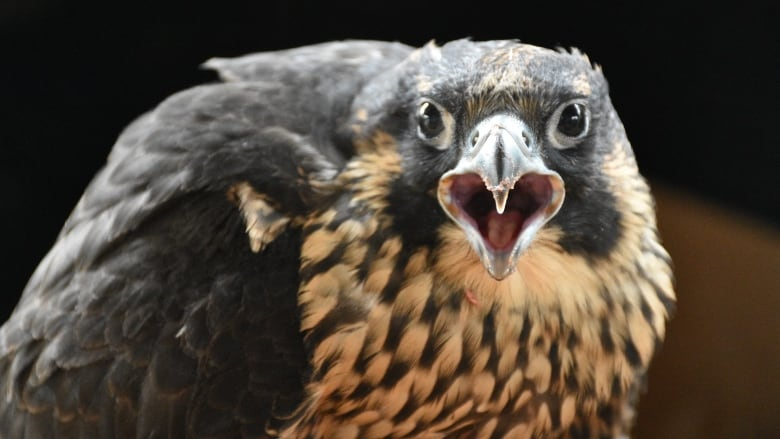 Climbing routes closed on Stawamus Chief due to peregrine falcon nest