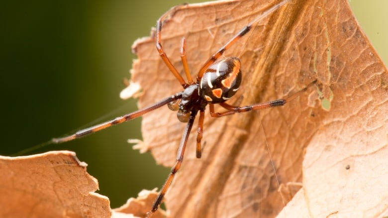 are there black widow spiders in canada