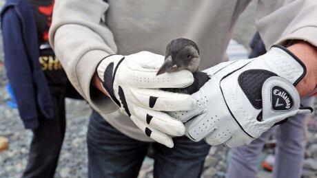 puffin petrel patrol pauses public participation