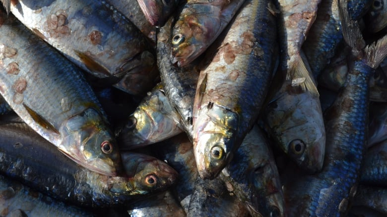 Packed full of worms': Parasites wriggling in fish no cause