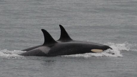 j35 killer whale