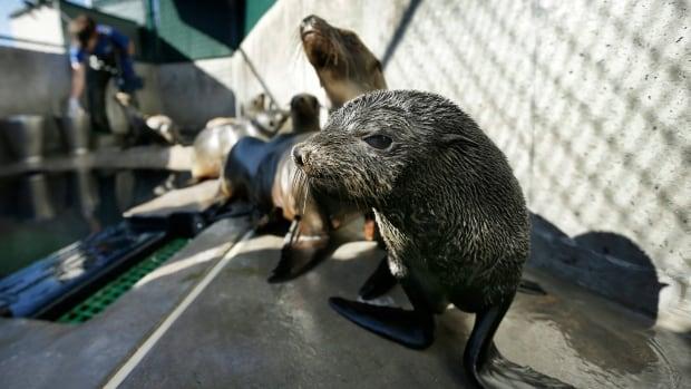 Marine heat waves threaten underwater wildlife   CBC News