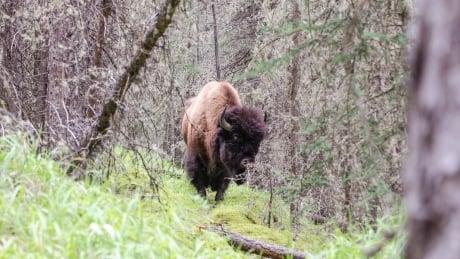Bison safely returned to Waterton Park