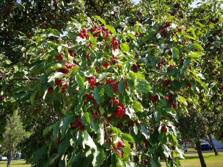 Alberta city asks residents to harvest the fruit trees they asked for