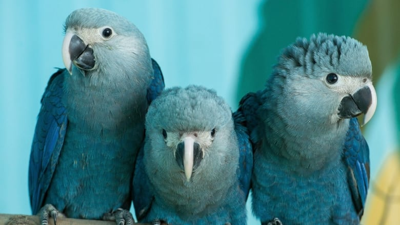 Parrot That Inspired 2011 Blockbuster Film Rio Among Bird Species