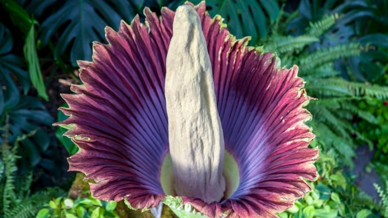 This Rare Exotic Plant Blooms About Once A Decade And It S