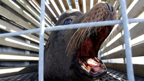 b c group wants to kill the seals to save the whales