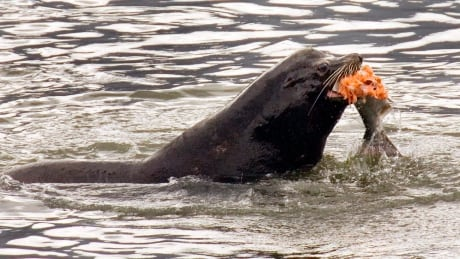 Sea Lions Versus Salmon