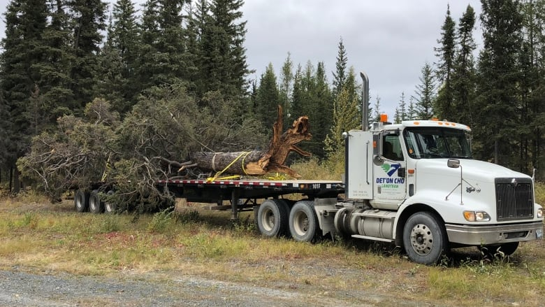 'Spirit of the tree is still living': Downed sacred tree moved to cultural site