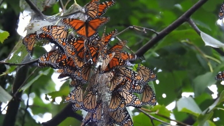 thousands of monarch butterflies flock to point pelee en route to