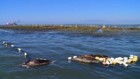 deadly ghost net entangles drowns fraser river seals